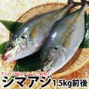 長崎産シマアジ(縞鯵)1尾 計1.5kg前後活もの/お刺身用しまあじ(RCP)