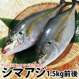 ギフト リピ続出長崎産シマアジ(縞鯵)1〜2尾 計1.5kg前後活もの/お刺身用しまあじ よか魚丸得九十九島鮮魚