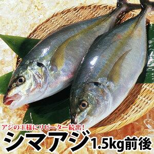 ギフト リピ続出 長崎産シマアジ(縞鯵)1〜2尾 計1.5kg前後活もの/お刺身用しまあじ(RCP)