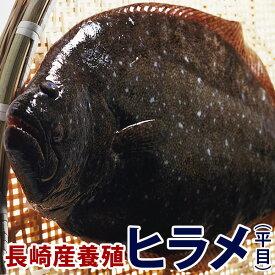 養殖ヒラメ(ひらめ) 1.3kg前後1尾長崎県五島灘の大自然で育った美味しいヒラメをどうぞ!九十九島鮮魚