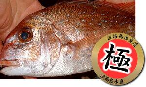 【漁港直送 お刺身用】淡路島由良産極上活締め天然桜鯛1枚200〜300g前後/