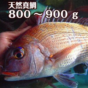 淡路島産天然マダイ800g〜900g1尾(真鯛・タイ・たい)(桜ダイ・桜鯛)