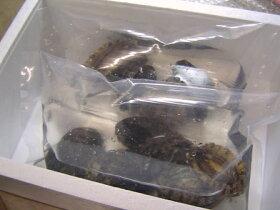 梱包は海水と酸素を入れて、活きたまま発送いたします