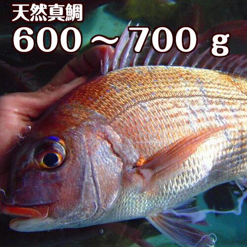 淡路島産天然マダイ600〜700g1尾(真鯛・タイ・たい)(桜ダイ・桜鯛)