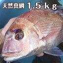 淡路島産天然マダイ1.5kg前後を1尾(真鯛・タイ・たい)(桜ダイ・桜鯛)