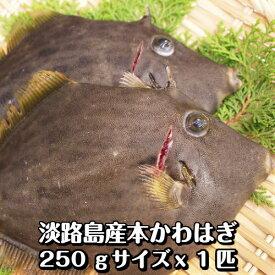 淡路産かわはぎ(丸)(丸はげ・本カワハギ)1枚250g前後 活〆即日発送