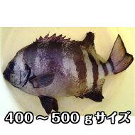 淡路島産天然イシダイ(石鯛)400g〜500g1尾(ハス・いしだい・イシダイ)