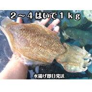 【ぷりぷり食感のイカ】淡路島産針イカ(活〆)2〜4杯合計約1kg刺身OK新鮮水揚げ直送!