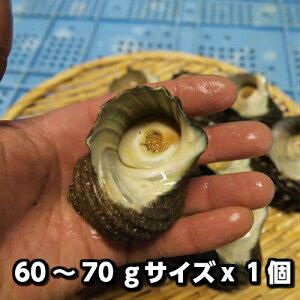 淡路島産天然活さざえ(小)60〜70gサイズ1個(素もぐり漁獲品/活サザエ/栄螺/活きさざえ)