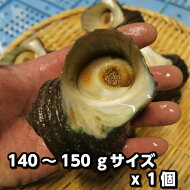 淡路島産天然活さざえ(大)140g〜150gサイズ1個(素もぐり漁獲/サザエ)