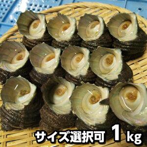 淡路島産天然活さざえ合計1kg※サイズ選択可(活サザエ/素もぐり漁獲品/栄螺/活きさざえ)