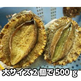 淡路産天然赤あわび(活)大サイズ2個で約300g(赤アワビ・アカアワビ)