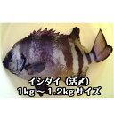 淡路島産天然イシダイ(石鯛)1kg〜1.2kg1尾(ハス・いしだい・イシダイ)
