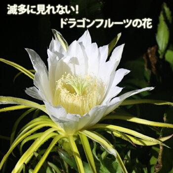 沖縄産ドラゴンフルーツ(レッドピタヤ)