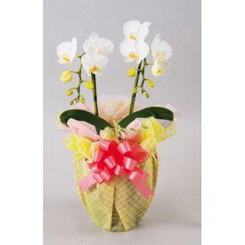 ミニ胡蝶蘭 2本立 陶器鉢 ラッピング 白系