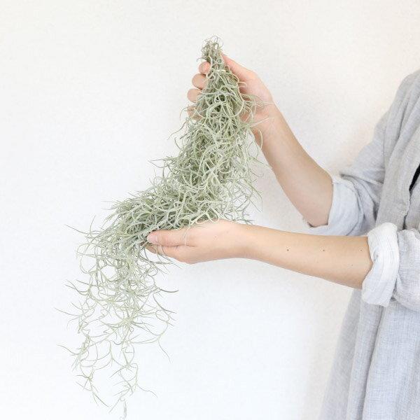 エアプランツ ウスネオイデス(観葉植物 おしゃれ 人気 チランジア エアープランツ )