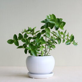 観葉植物 おしゃれ ホヤ・クミンギアナ(人気 日陰 小さい 陶器植木鉢 アヤナス)