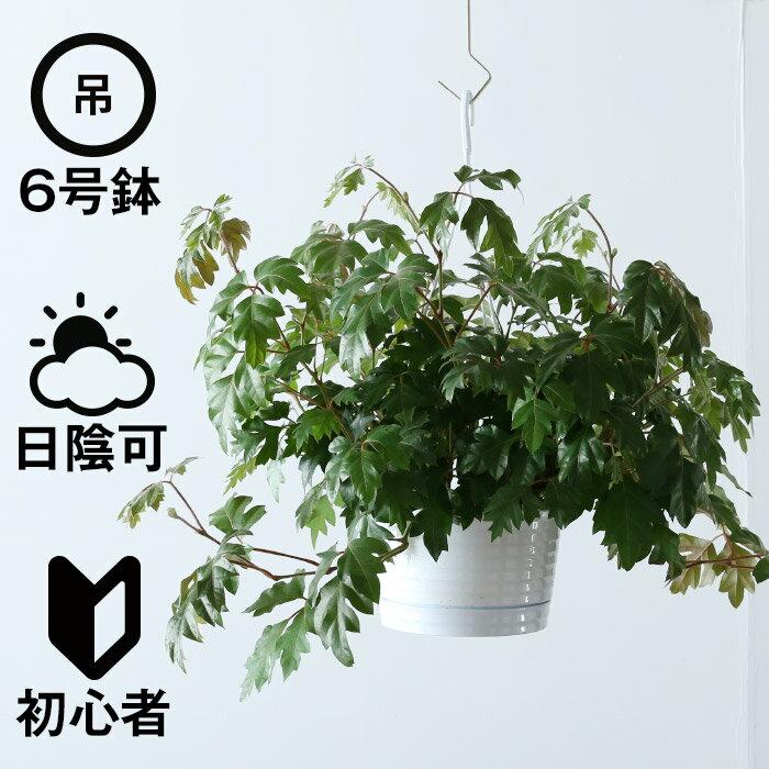 観葉植物 おしゃれ 吊り下げ シッサス・エレンダニカ (日陰 人気 6号鉢 プラ鉢 )