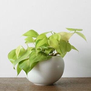 観葉植物おしゃれオキシカルジウム・ライム(日陰オフィス小さいボールポット)