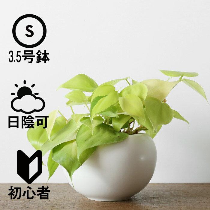 観葉植物 おしゃれ オキシカルジウム・ライム(日陰 オフィス 小さい ボールポット)