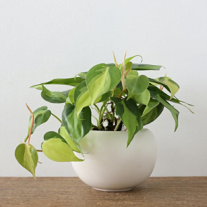 観葉植物 おしゃれ フィロデンドロン・ブラジル(日陰 人気 小さい ボールポット)