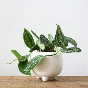 シラフカズラ(三つ足Pot)