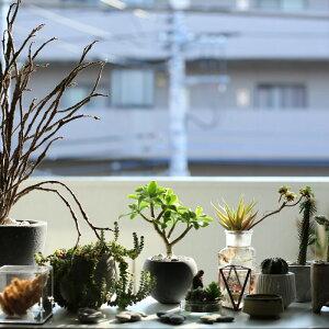 観葉植物おしゃれクラッスラ・ウンドゥラータ(小さい多肉植物ミニセメントボールポット)