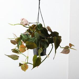 観葉植物おしゃれ吊り下げビロードカズラ(日陰4号鉢プラ鉢)