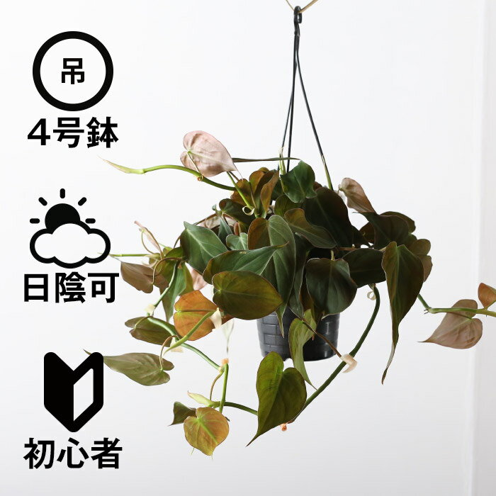 観葉植物 おしゃれ 吊り下げ ビロードカズラ (日陰 4号鉢 プラ鉢)