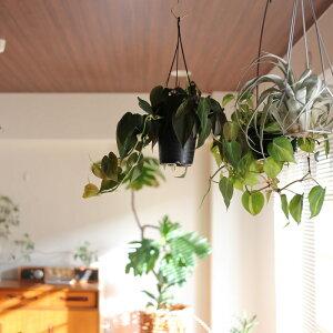 観葉植物おしゃれ吊り下げシッサス・エレンダニカ(日陰6号鉢プラ鉢)
