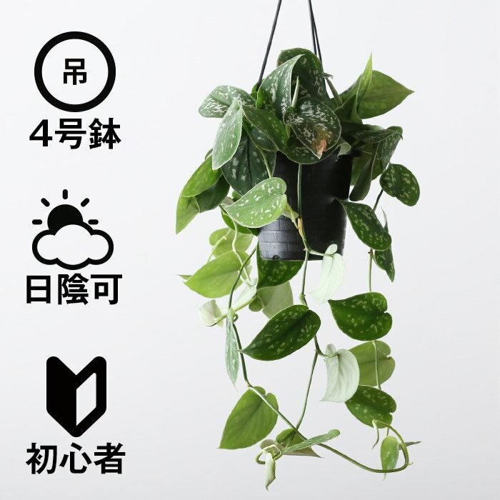 観葉植物 おしゃれ 吊り下げ シラフカズラ(スキンダプタス) (日陰 4号鉢 吊りプラ鉢 )