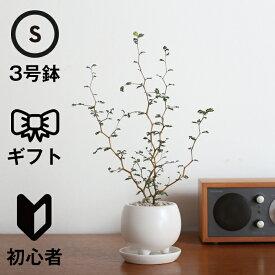 観葉植物 おしゃれ ソフォラ・ミクロフィラ(人気 陶器鉢 小さい リビング アヤナス 三つ足ポット)