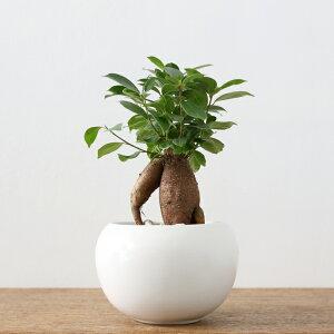 観葉植物おしゃれガジュマル[M](初心者人気小さいギフトボールポット)