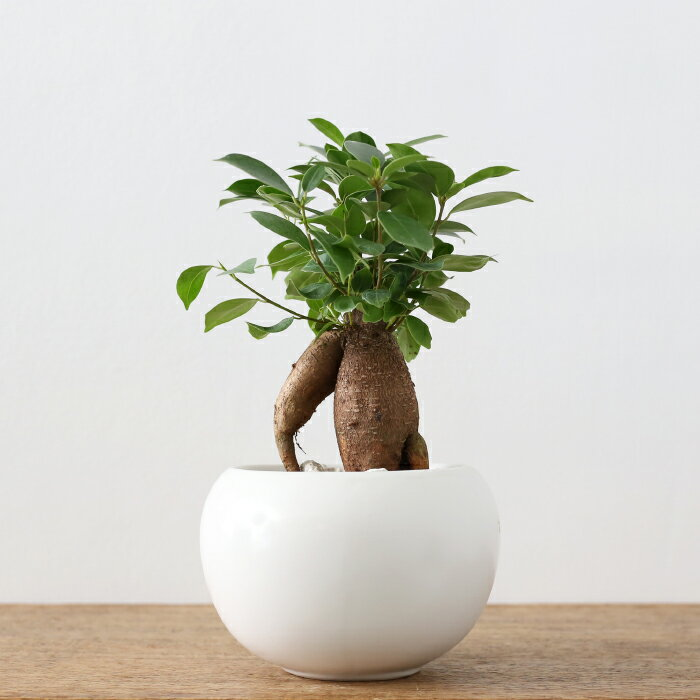 観葉植物 おしゃれ ガジュマル[M](初心者 人気 小さい ギフト ボールポット)