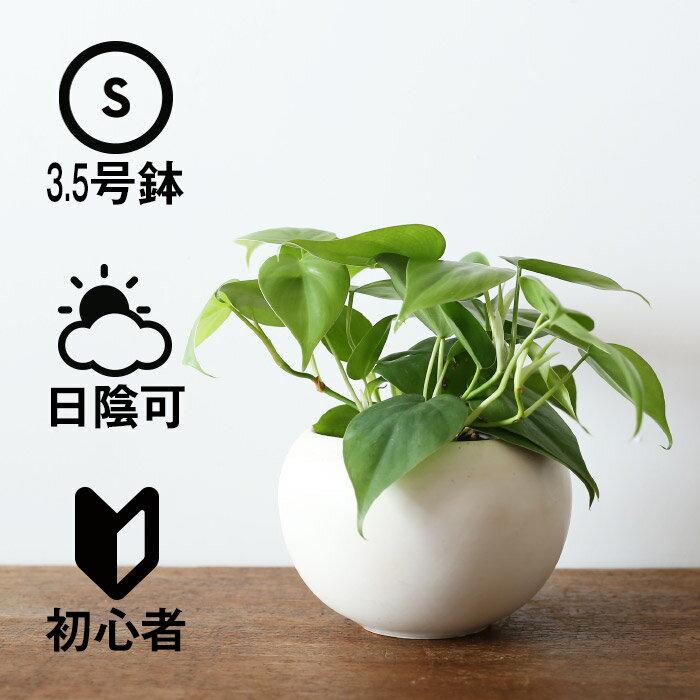 観葉植物 おしゃれ ヒメカズラ(日陰 オフィス 小さい ボールポット)
