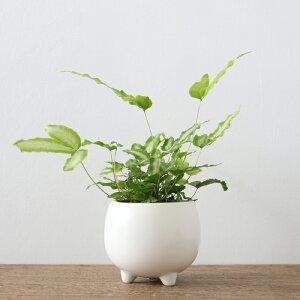 プテリス・アルボリネアータ(三つ足Pot)