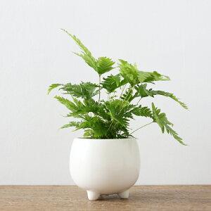 プテリス・フォーレイ(三つ足Pot)