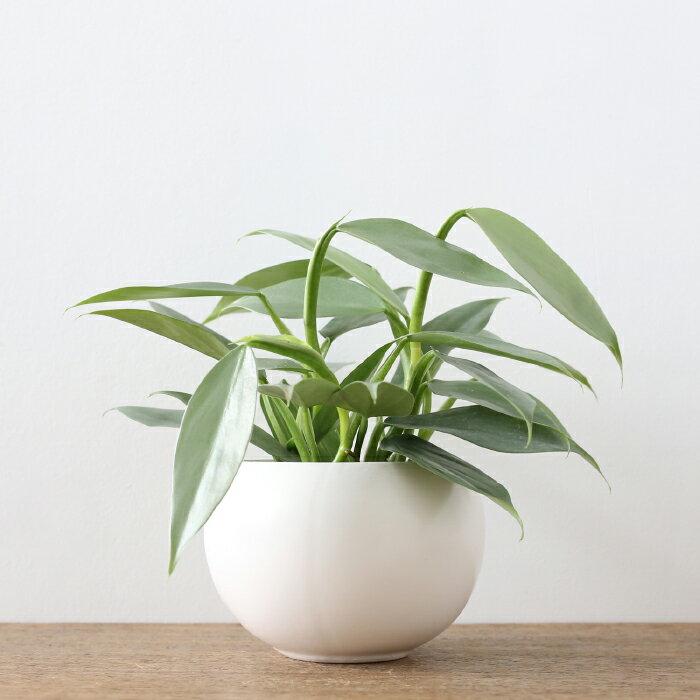 観葉植物 おしゃれ フィロデンドロン・インベ ' シルバーメタル '(人気 日陰 小さい ボールポット )