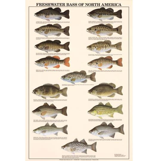 フィッシュチャートポスター #Bass of North America