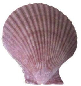 南の島のシェル2枚貝ヒオウギ貝M (1個) 紫系【バリ・アジアン雑貨バリパラダイス】