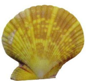 南の島のシェル2枚貝 ヒオウギ貝M (1個) 黄色系【バリ・アジアン雑貨バリパラダイス】