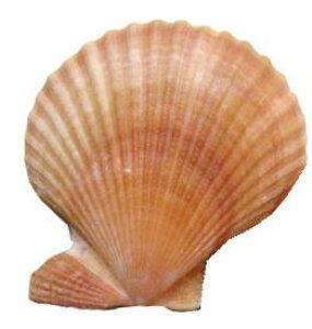 南の島のシェル2枚貝ヒオウギ貝M(1個)オレンジ赤系【バリ・アジアン雑貨バリパラダイス】