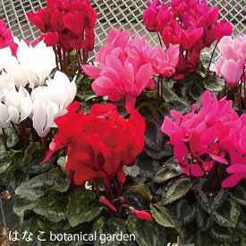 【花の苗】送料無料 ガーデンシクラメン・ミックス・9ポットセット 3寸 ミニシクラメン 花芽多数