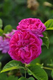 バラ苗【中苗】マダムデザイヤジロ (HP絞赤) 国産苗 6号鉢植え品《J-OC15》
