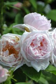 バラ苗【中苗】ポールズアーリーブラッシュ (HP薄桃) 国産苗 6号鉢植え品《J-OC15》