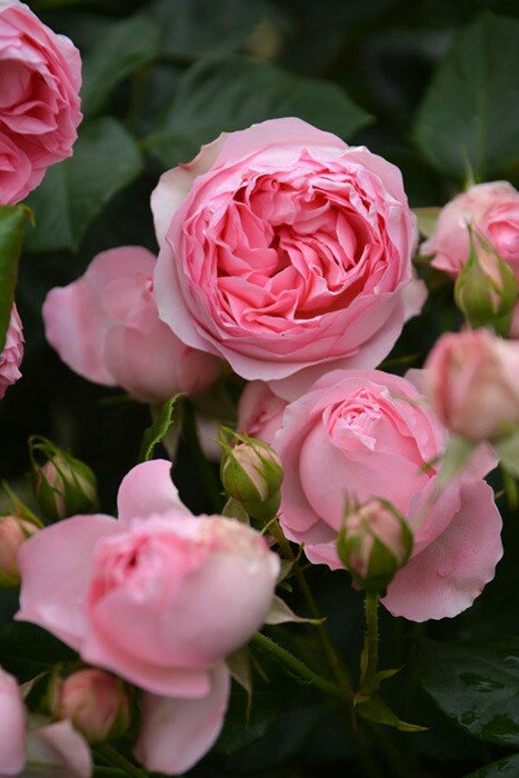 【大苗】バラ苗 ギィドゥモーパッサン (Ant桃) 国産苗 6号鉢植え品《J-MB》
