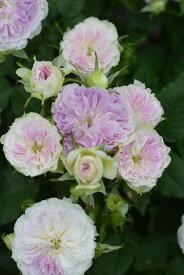 【予約大苗】バラ苗 ブルームーンストーン (KB薄紫) 国産苗 6号鉢植え品《Kb-KBO》 ※2月末までにお届け