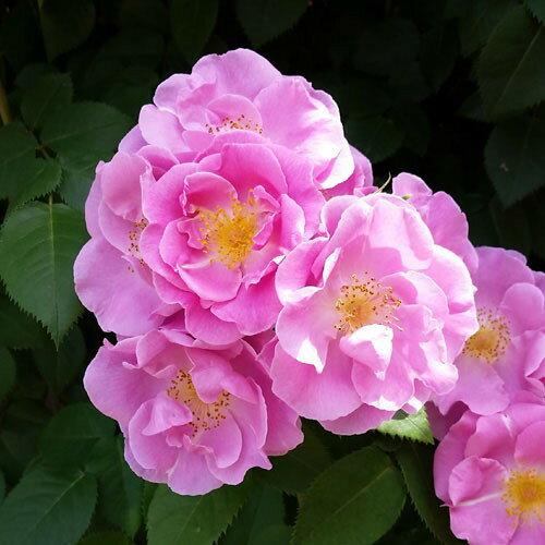 ◆即納【バラ苗】ラッキー (FL桃) 国産苗 中苗 6号鉢植え品 ○《OM-ZEK》 2018新品種