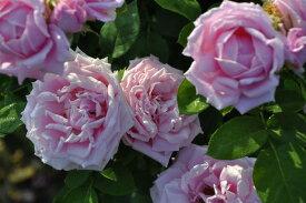バラ苗【中苗】レオニーランバート (HP桃) 国産苗 6号鉢植え品《J-OC15》
