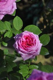 【大苗】バラ苗 ジョンホッパー (HP桃) 国産苗 6号鉢植え品
